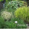 "Осока пальмолистова ""Aureovariegata"" (Carex muskingumensis ""Aureovariegata"")"