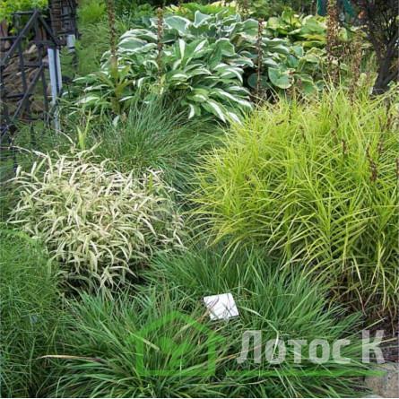 "Осока пальмолистова ""Aureovariegata"" (Carex muskingumensis ""Aureovariegata"")"