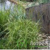 "Осока пальмолистная ""Aureovariegata"" (Carex muskingumensis ""Aureovariegata"")"