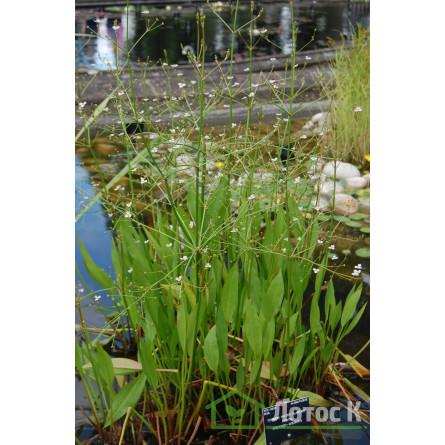 Частуха мелкоцветковая (Alisma parviflora)