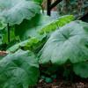 Астильбоидес пластинчатый (Astilboides tabularis)