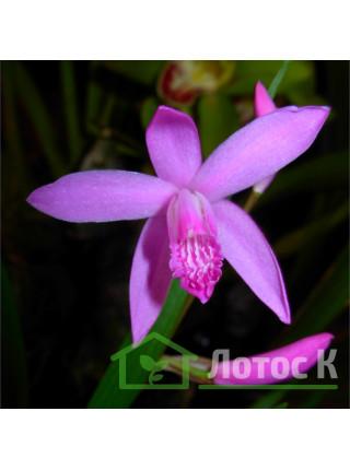 Блетилла полосатая (Bletilla striata)