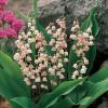 """Convallaria majalis """"Rosea"""" (Ландыш майский """"Rosea"""")"""