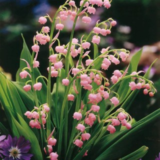 Ландыш майский 'Rosea' (Convallaria majalis 'Rosea')