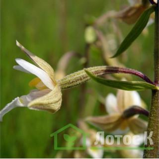 Дремлик болотный (Epipactis palustris)