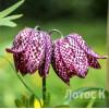 Рябчик шахматный (Fritillaria meleagris)