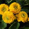 "Калюжниця болотна ""Multiplex"" (Caltha palustris ""Multiplex"")"