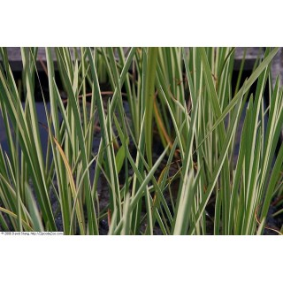 Аир болотный 'Variegatus' (Acorus calamus 'Variegatus')