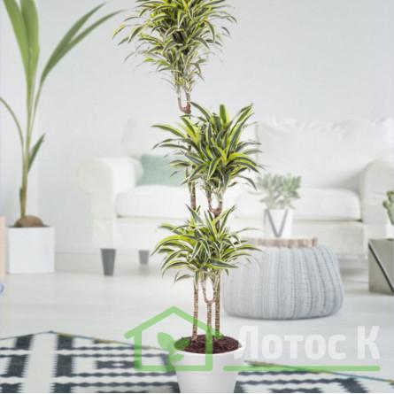 Драцена обрамленная (Dracaena marginata)