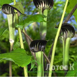 Аризема трехлистная (Arisaema triphyllum)