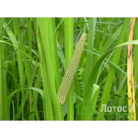 Аир болотный (Acorus calamus)