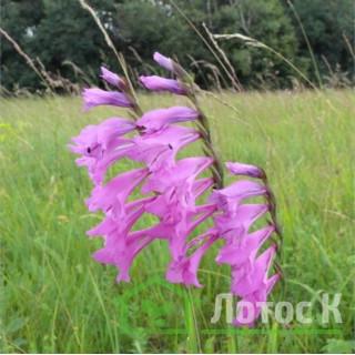 Шпажник черепитчатый (Gladiolus imbricatus)