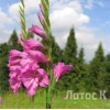 Gladiolus imbricatus (Шпажник черепитчатый)