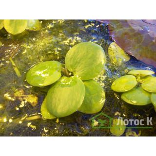 Лимнобиум губчатый (Limnobium spongia)