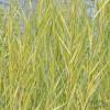 """Тростник обычный """"Вариегатный"""" (Phragmites australis """"Variegatus"""")"""