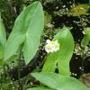 Стрелолист широколистный (Sagittaria latifolia)
