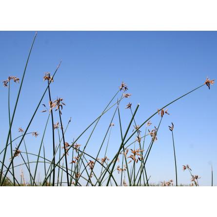 Scirpus lacustris (Очерет озерний)