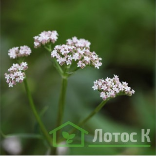 Валерьяна лекарственная (Valeriana officinali)