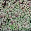 Седум/Очиток испанский (Sedum hispanicum minus)