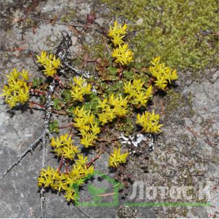 Седум/Очиток орегонский (Sedum oreganum)
