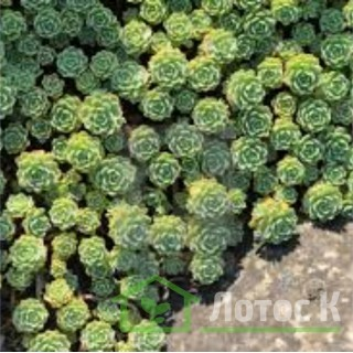 Седум/Очиток толстоветвистый (Sedum pachyclados)