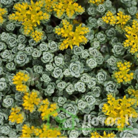 Седум/Очиток лопатчатолистный 'Cape Blanco' (Sedum spathulifolium 'Cape Blanco')