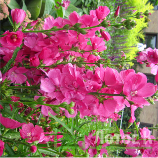 Сидальцея 'Brilliant' (Sidalcea oregana 'Brilliant')
