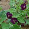 Geranium phaeum 'Raven' (Герань темна 'Raven')
