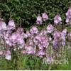 Сидальцея мальвоцветковая 'Elsie Heugh' (Sidalcea 'Elsie Heugh')