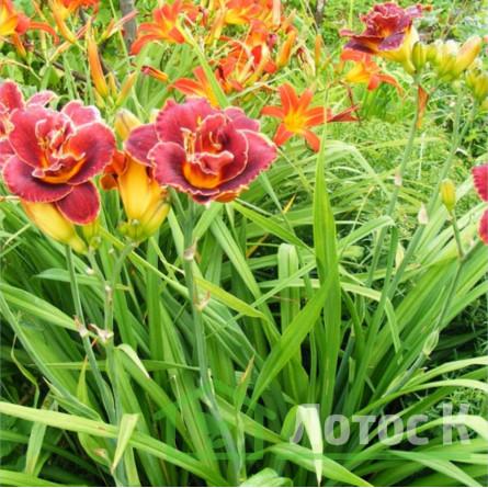 Hemerocallis  'Night Embers' (Лилейник 'Night embers')