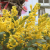 "Хохлатка ""Canary Feathers"" (Corydalis ""Canary Feathers"")"