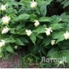 Smilacina racemosa (Смилацина кистистая)