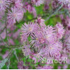 Thalictrum aquilegifolium (Василисник водосборолистный)