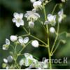 "Thalictrum 'Splendide White'(Василистник ""Splendide White"")"