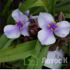 "Традесканция ""Bilberry Ice"" (Tradescantia ""Bilberry Ice"")"
