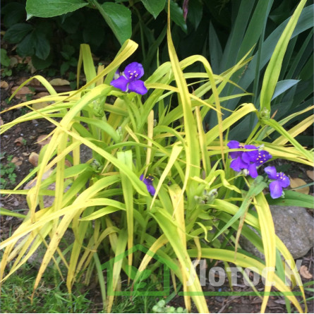 "Tradescantia  'Sweet Kate' (Традесканция ""Sweet Kate"")"