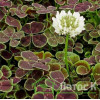 "Trifolium repens 'Pentaphyllum' (Клевер ползучий ""Пентафиллум"")"