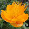 "Trollius chinensis  'Golden Queen' (Купальница китайская ""Golden Queen"")"