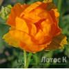 Купальница 'Orange Princess' (Trollius 'Orange Princess')