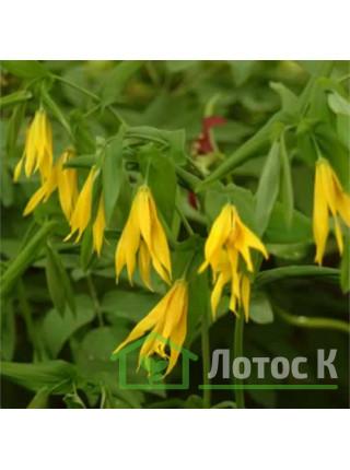 Увулярия крупноцветковая (Uvularia grandiflora)
