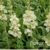 """Verbascum 'White Domino' (Коровяк """"White Domino"""")"""