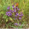 Verbena hastata (Вербена копьевидная)