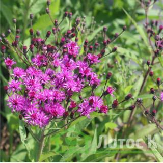Вернония арканзасская (Vernonia crinita)