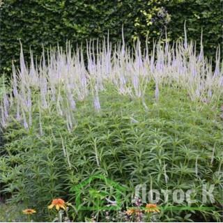 Вероникаструм виргинский 'Lavendelturm (Veronicastrum virg. 'Lavendelturm')