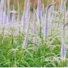 "Veronicastrum virg.   'Lavendelturm' (Вероникаструм виргинский ""Lavendelturm"")"