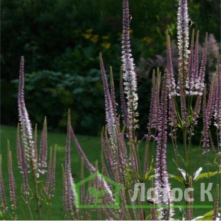 Вероникаструм виргинский 'Roseum' (Veronicastrum virg. 'Roseum')