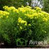 Молочай болотный (Euphorbia palustris)