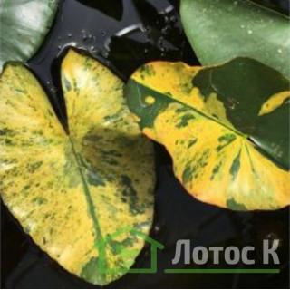 Кубишка мелкая петролистая (Nuphar pumila 'Variegata')