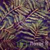 Рдест курчавый (Potamogeton crispus)