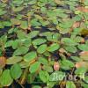 Рдест плавающий (Potamogeton natans)